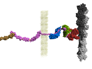 Integration of cadherin adhesion and cytoskeleton at adherens junctions