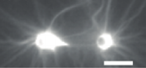 Direct measurement of near-nano-Newton forces developed by self-organizing actomyosin fibers bound α-catenin